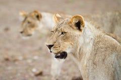 Två lions Arkivfoto