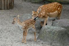 Två lismar en moder, och hon behandla som ett barn i zoo i Berlin i Tyskland Royaltyfri Foto