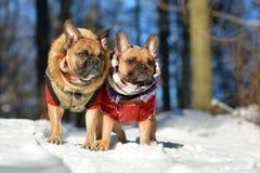 Två lismar hundkapplöpning för den franska bulldoggen som bär varm vinterkläder i snölandskap royaltyfri fotografi