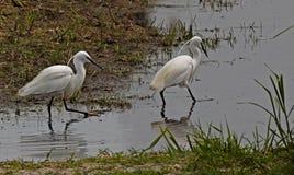 Två lite Egrets Arkivbilder