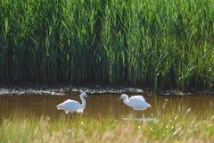 Två lite Egrets Royaltyfria Bilder