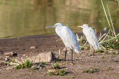 Lite Egrets Arkivfoton