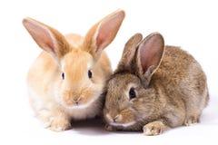 Två liten fluffig röd kanin, isolat arkivfoto