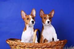 Två little Basenji puppys Fotografering för Bildbyråer