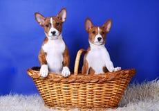 Två little Basenji puppys Arkivfoton