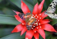 Två ljusa fjärilar som sitter på den ljusa röda blomman Royaltyfri Bild