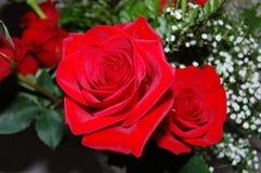 Två ljusa röda rosknoppar Royaltyfria Bilder