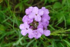 Två ljusa skalbaggar sitter i mitt av en grupp av purpurfärgade blommor arkivbild