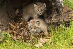 Två lodjurkattungar Arkivfoto