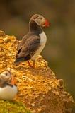 Två lunnefåglar på arctica för fratercula cliff3 Royaltyfria Foton