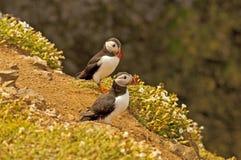 Två lunnefåglar på arctica för fratercula cliff6 Royaltyfria Foton