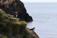 Två lunnefåglar på den icelandic kusten royaltyfria foton