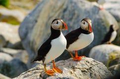 Två lunnefåglar som tillsammans står på en vagga Royaltyfri Fotografi