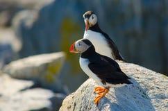 Två lunnefåglar som tillsammans står på en vagga Arkivfoto