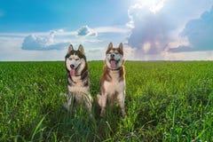 Två lyckliga le siberian skrovliga hundkapplöpning som sitter sidobu, sid på sommargräsplanäng mot blå himmel kopiera avstånd royaltyfri bild