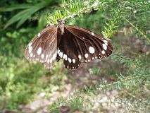Två Märke-galande fjäril arkivbilder
