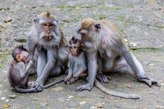 Två mödrar med behandla som ett barn av Lång-tailed eller denäta macaquen, den fulla längden, den Bali ön, Indonesien Fotografering för Bildbyråer