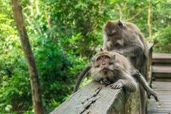 Två Macaqueapor Arkivfoton