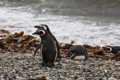 Två Magellanic pingvin som står på vatten`en s, kantar Arkivbilder