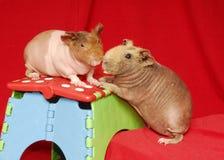 Två magra Pigs Fotografering för Bildbyråer