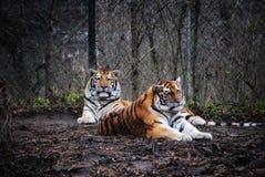 Två majestätiska Amur tigrar royaltyfria foton