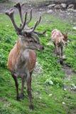 Två majestätiska hjortar i lös natur Royaltyfri Bild