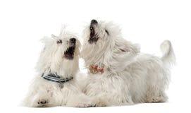 Två maltesiska hundar, 2 gammala som år ligger Royaltyfri Fotografi
