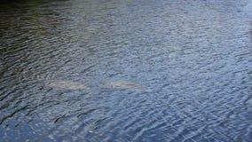 Två Manatees som ses från ovanför vattnet lager videofilmer