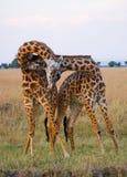 Två manliga giraff som slåss sig i savannahen kenya tanzania 5 2009 för tanzania för östlig marsch för maasai för africa dans utf Arkivbild