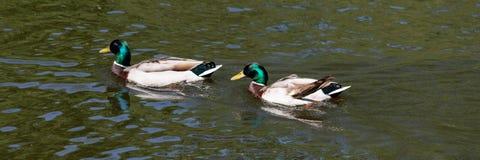 Två manliga gräsandanasplatyrhynchos simmar i vattnet arkivfoto