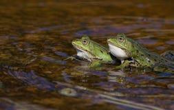 Två manliga gröna grodor Arkivbild