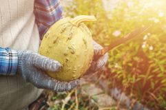 Två manliga händer som rymmer en pumpa, drog ut ur trädgården Begreppet av stads- trädgårdar, organiska grönsaker Skörd Fotografering för Bildbyråer