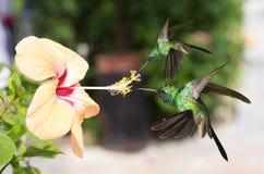 Två manliga kubanska smaragdkolibrier Fotografering för Bildbyråer