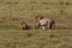 Två manliga lejon som får klara att slåss royaltyfria foton