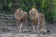 Två manliga lejonbröder står tillsammans i den större Kruger nationalparken arkivbild