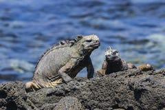 Två Marine Iguanas på lava vaggar Royaltyfri Foto