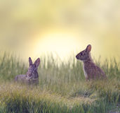 Två Marsh Rabbits royaltyfri foto