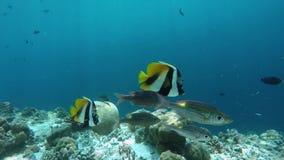 Två maskerade bannerfish och Glowspot kejsare arkivfilmer