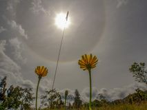 Två maskrosblommor mot en sol- gloria arkivbild