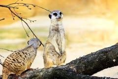 Två Meerkats på en filial Arkivbilder