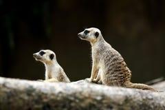 Två Meerkats som ser avlägsen Arkivfoton