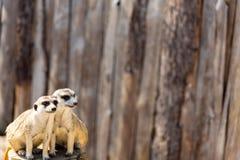 Två meerkats som sitter på en trädstubbe som stirrar i avståndet royaltyfri foto