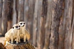 Två meerkats som sitter på en trädstubbe som stirrar i avståndet arkivbild