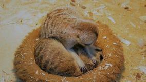 Två meerkats som sover i deras hus arkivfilmer