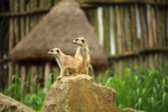 Två meerkats - suricates (Suricatasuricatta) på en vagga Royaltyfri Bild