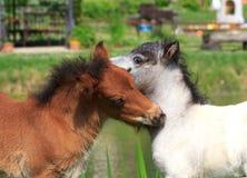Två mini- hästar Falabella som spelar på ängen, fjärden och vit, sele Royaltyfri Bild