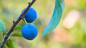 Två mogna blåa slån på filial med gröna sidor Prunusspinosa arkivfoton