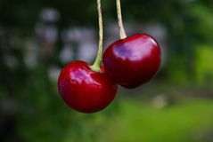 Två mogna röda körsbär Arkivfoton