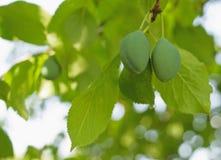 Två mognande plommoner på trädet royaltyfri foto