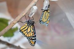 Två monarkfjärilar som kläckas nyligen royaltyfria bilder